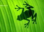 Sombra de um Sapo em uma folha verde