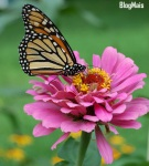 Monarch_Butterfly_Pink_Zinnia_1800px