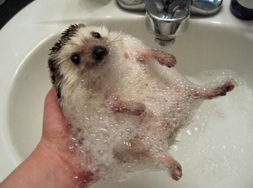 Um Porco Espinho bebê tomando banho   Leia mais em: http://naoveja.com/10-fotos-que-voce-tem-que-ver-antes-de-morrer/
