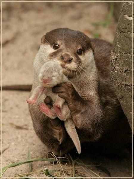 Uma lontra mostrando seu bebê
